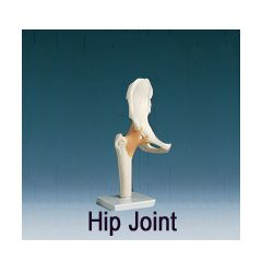 AliMed Anatomical Models - Hip Joint, Functional