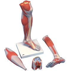 3b Scientific Anatomical Lower Muscle Leg With Detachable Knee, 3 Part, Life Size