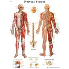 3b Scientific Anatomical Chart - Nervous System Chart, Sticky Back