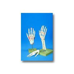 AliMed Full Hand Anatomical Model