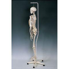 Feldenkrais Physiological Skeleton Model