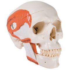3b Scientific Anatomical Model - Functional Skull, 2 Part With Masticator Muscles