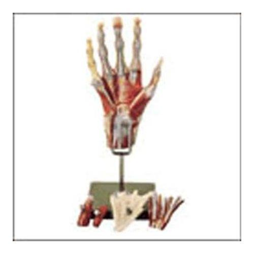 Lippincott Muscles Of The Hand Model Model 734 0217