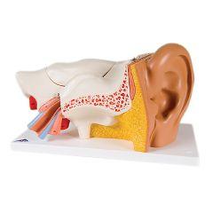 3b Scientific Anatomical Model - Ear, 6-Part (3x Size)