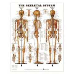 Complete Medical Supplies Skeletal System Chart