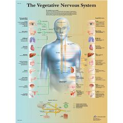 3b Scientific Anatomical Chart - Vegetative Nervous System, Laminated