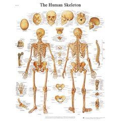 3b Scientific Anatomical Chart - Human Skeleton, Laminated