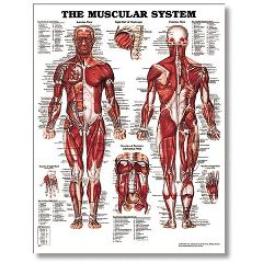 "Lippincott The Male Muscular System 20"" X 26"" Styrene"