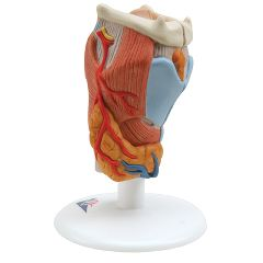 3b Scientific Anatomical Model - Larynx, 2-Part