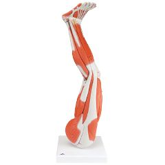 3b Scientific Anatomical Model - Regular Muscular Leg 9-Part