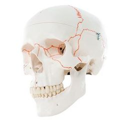 3b Scientific Anatomical Classic Skull, 3-Part Numbered