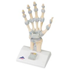 3b Scientific Anatomical Hand Skeleton With Ligaments
