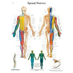 3b Scientific Anatomical Chart - Spinal Nerves, Paper