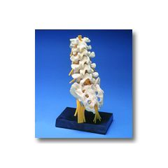 Lumbar with Sacrum Anatomical Model