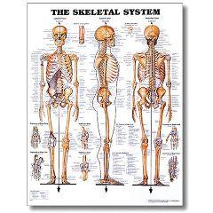 """Lippincott Skeletal System Poster 20"""" X 26"""" Styrene"""