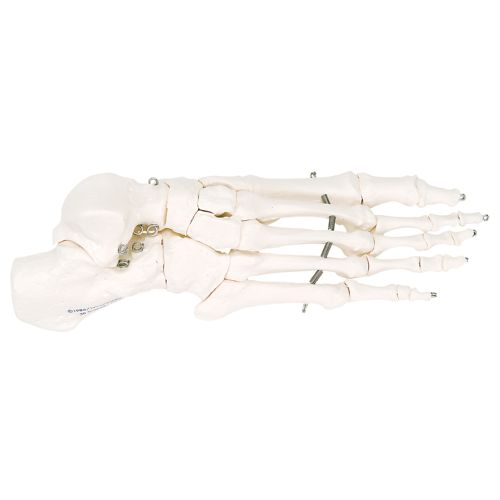 3b Scientific Anatomical Model - Loose Bones, Foot Skeleton With Ankle, Right (Bungee) Model 573 571238 00