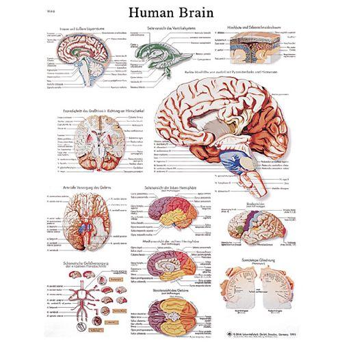 3b Scientific Anatomical Chart - Human Brain, Laminated Model 573 1039