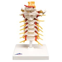 3b Scientific Anatomical Model - Cervical Spinal Column