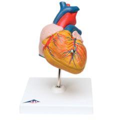 3b Scientific Anatomical Heart, 2-Part