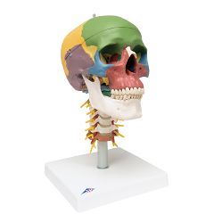 3b Scientific Anatomical Didactic Skull, 4 Part, On Cervical Spine