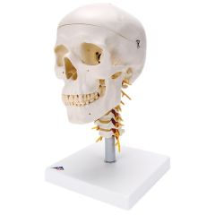 3b Scientific Anatomical Classic Skull, 4 Part, On Cervical Spine