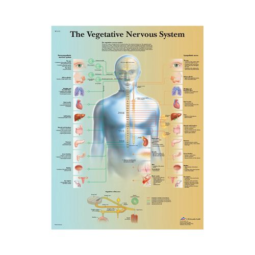 3b Scientific Anatomical Chart - Vegetative Nervous System, Paper Model 573 570627 00