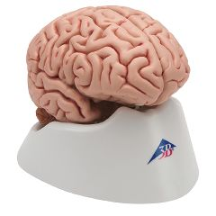 3b Scientific Anatomical Classic Brain 5-Part