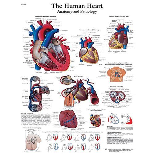 3b Scientific Anatomical Chart - Human Heart, Laminated Model 573 570586 00