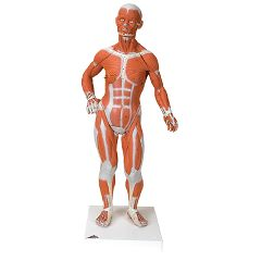3b Scientific Anatomical 1/3 Life-Size Muscle Figure, 2-Part
