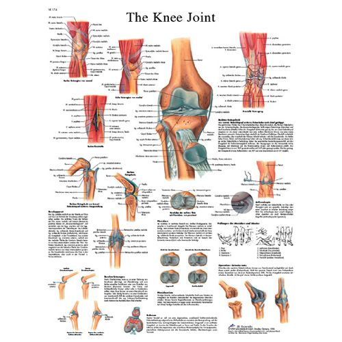 3b Scientific Anatomical Chart - Knee Joint, Laminated Model 573 570594 00