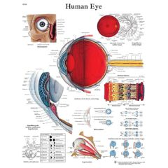 3b Scientific Anatomical Chart - Eye, Laminated