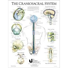 "IAHE Craniosacral System Poster 19"" X 25"""