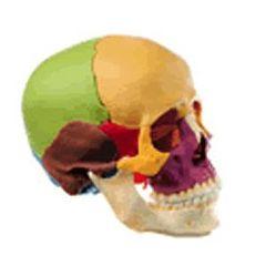 Lippincott Snap Together 14 Part Skull-Color