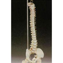 Lippincott Desk Size Vertebral Column