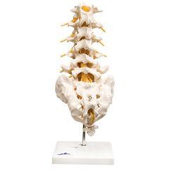 3b Scientific Anatomical Model - Lumbar Spinal Column