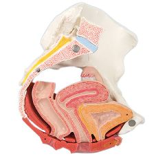 3b Scientific Anatomical Model - Female Pelvis, 4-Part With Ligaments