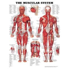 Complete Medical Products Muscular System Chart