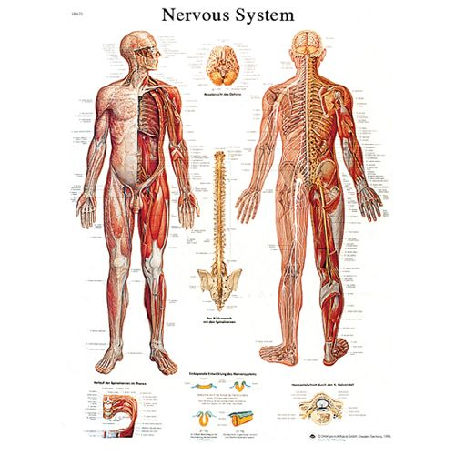 3b Scientific Anatomical Chart - Nervous System Chart, Laminated Model 573 570604 00