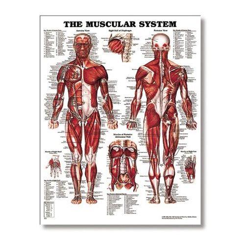 "Lippincott The Male Muscular System 20"" X 26"" Styrene Model 573 0105"