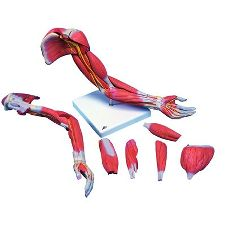 3b Scientific Anatomical Model - Deluxe Muscular Arm 6-Part