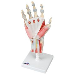 3b Scientific Anatomical Hand Skeleton With Removable Ligaments & Muscles, 4-Part