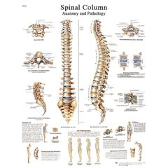 3b Scientific Anatomical Chart - Spinal Column, Laminated