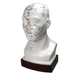 Medical Technology Products Head Model - Acupuncture Point Model