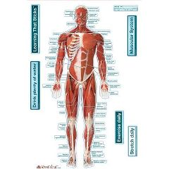 Bodypartchart, Llc BodyPartChart Muscular System - Front Labeled Wall Decal