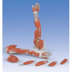 AliMed Model of Full Arm with Musculature, each