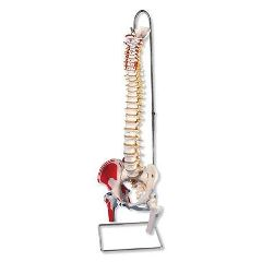 American 3B Scientific Flexible Spinal Column With Stand