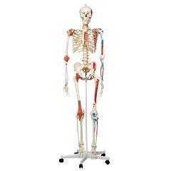 3b Scientific Anatomical Model - Sam The Super Skeleton On Roller Stand