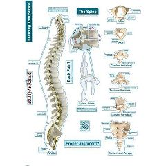 Fathead Llc BodyPartChart Spine - Labeled Wall Decal