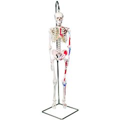 3b Scientific Anatomical Model - Shorty The Mini Skeleton With Muscles On Hanging Stand