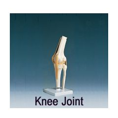 AliMed Anatomical Models - Knee Joint, Functional